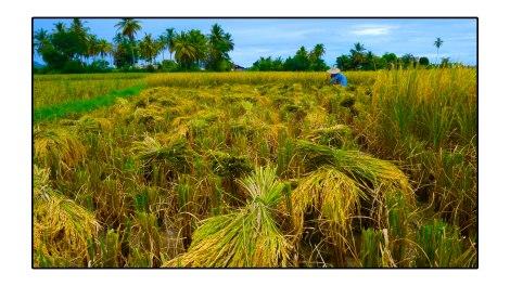1 - Rice-field---banda-aceh,-indonesia