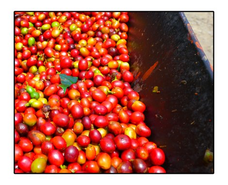 10 - Coffee-beans---takengon-Indonesia