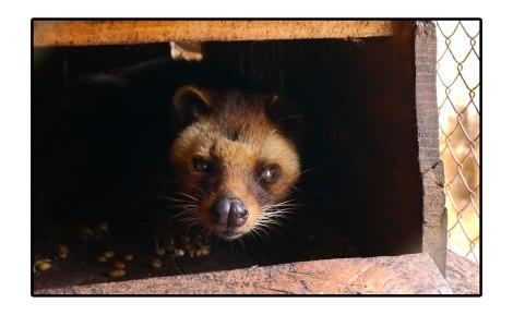 17 - Luwak-cage---Takengon-Indonesia
