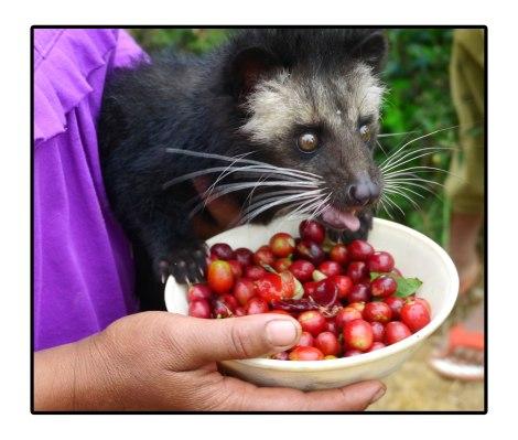 18 - baby-luwak---takengon,-indonesia