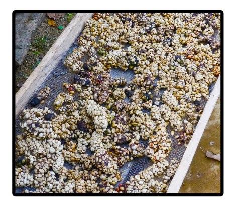 19---Luwak-kopi-poo---Takengon,-Indonesia