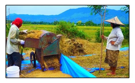 3 - Harvest-organic-Rice---banda-aceh-Indonesia