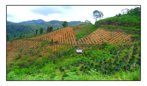 7 - Coffee-field-Takengon-Indonesia