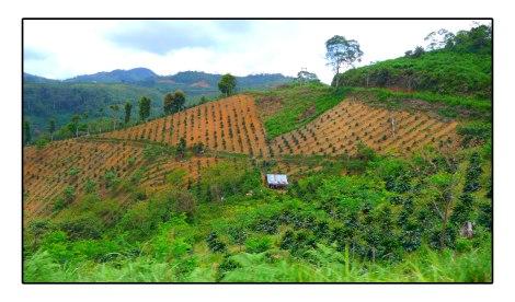 7 - Coffee-field-Takengon-Indonesia