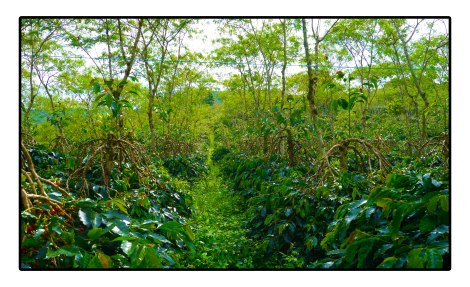 8 - Organic-Coffee-field---Gayo-highland