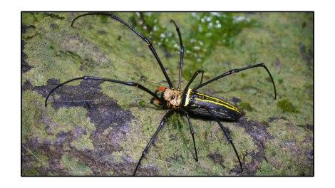 Crazy-spider---Pulau-Weh-Indonesia