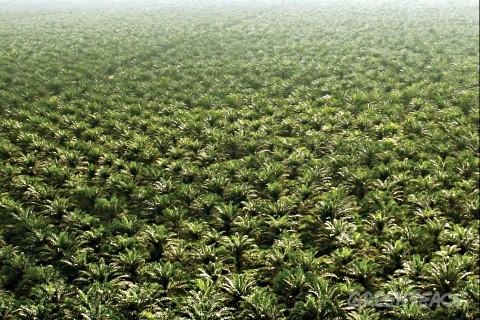 plantations d huile de palme c est comment de pr s un monde durable. Black Bedroom Furniture Sets. Home Design Ideas