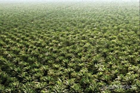 2- Plantation huile de palmes greenpeace