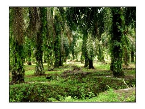 3--Plantation-huile-de-palm