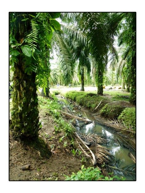 5--Plantation-huile-de-palm