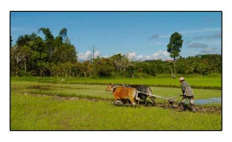 6---Labour-champs-de-riz---Lac-Poso