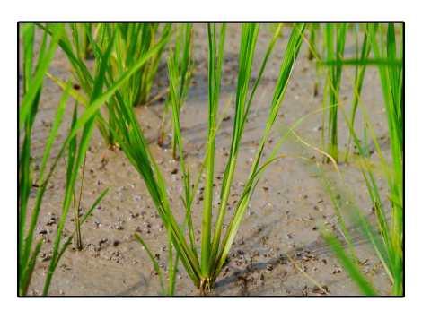 7---Plant-de-riz---Poso