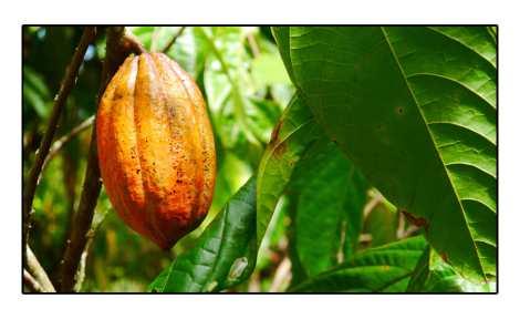 Cacao---Sulawesi